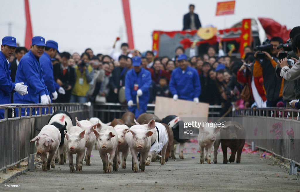 Pigs take part in a running contest during the China Golden Pig Sports Game November 17, 2007 in Ningxiang, central China's Hunan province. Pigs from 10 farms from all over the country attended the games and competed in events such as running, swimming, jumping and eating, local media said.