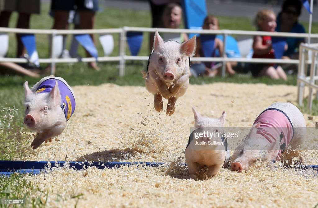Pigs with the AllAlaskan Pig Racing round the track during a race at the Alameda County Fair on June 23 2011 in Pleasanton California The Alameda...