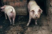 Pigs inside a pigsty.