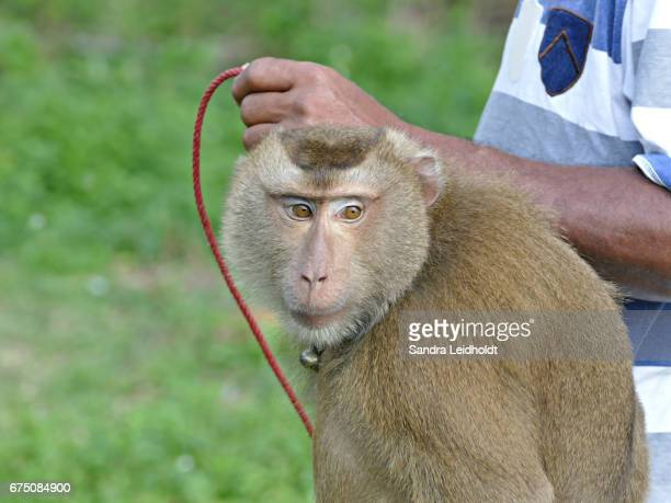 Pigtailed Macaque on Leash with Trainer in Ko Samui, Thailand