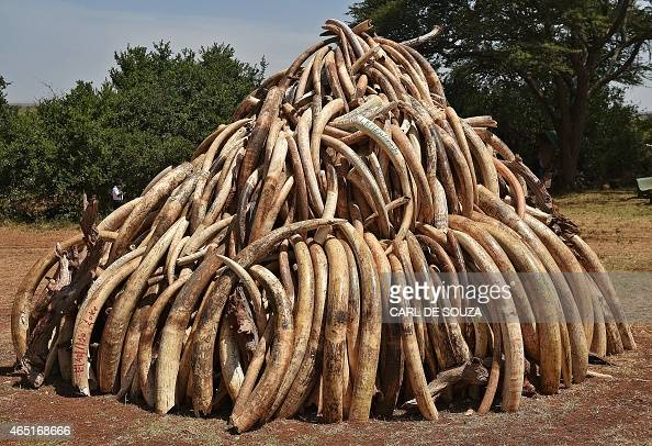 A pile of 15 tonnes of elephant ivory seized in Kenya is displayed at Nairobi National Park on March 3 2015 15 tonnes is the largest amount of...