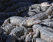 Huge pile of alligators sunbathing in a group at Gatorland park in Orlando Florida