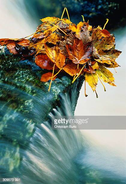 Pile of autumn leaves on outcrop of rock in fast-flowing water