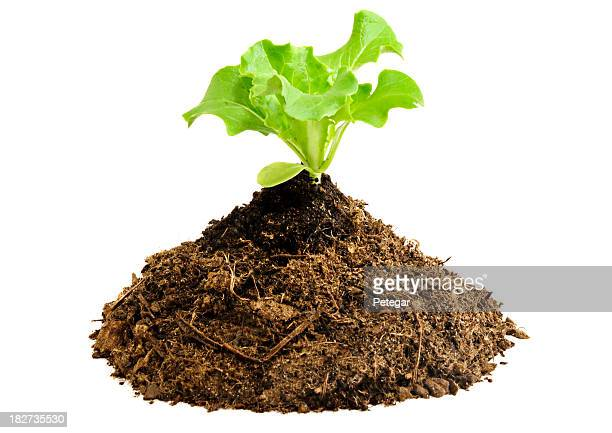 Pile of Compost with Lettuce Seedling