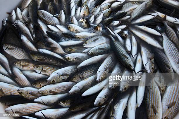 Pile of fish arranged in swirling pattern