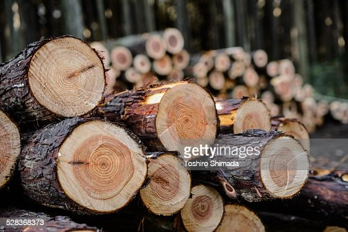 Pile of Japanese cypress : Stock Photo