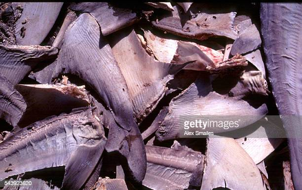 A pile of shark fins The fins and tail are hacked off the shark while it is alive The shark is then thrown back into the sea to die an agonising...