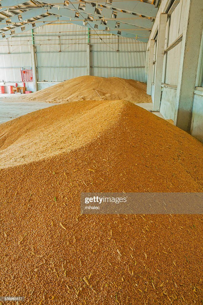 pile of wheat corns in warehouse : Stock Photo