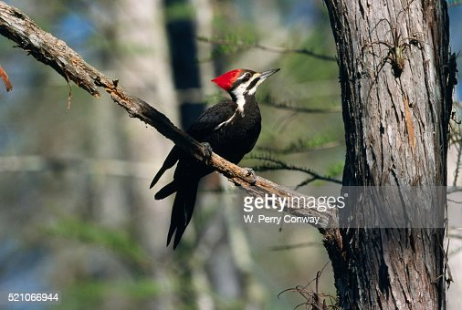 Pileated Woodpecker on Cypress Tree Branch : Stock Photo