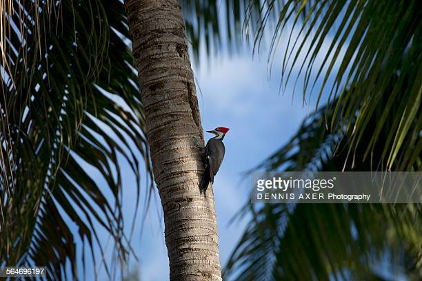 Pileated woodpecker on palm tree