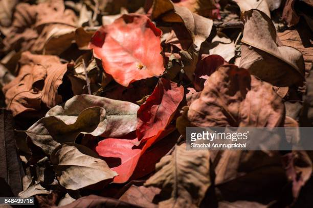 Piles of dried dead leaves on the ground