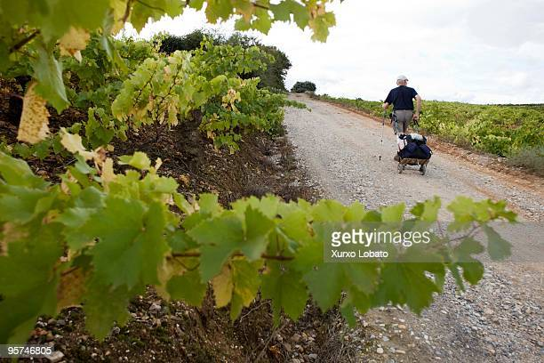 Pilgrim walks among strains of wine in a Bierzo region in the way of saint James in Castilla and Leon 10th November 2009