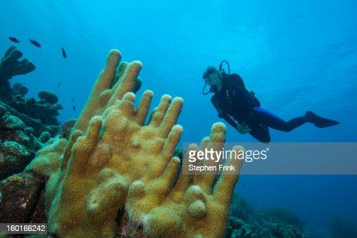 Pillar Coral (Dendrogyra Cylindricus) : Stock Photo