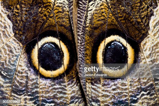 The wing markings of an Owl Butterfly look like giant eyes to predators looking for an easy meal.