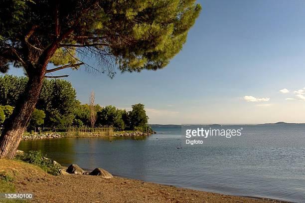 Pine at beach of the Lago di Bolsena, Latium, Italy