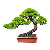 A pine bonsai tree extending from an orange ceramic plot. The trunk of the tree bends to the right and splits into smaller branches with pine leaves sprouting from them. Isolated on white background.
