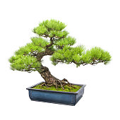 A pine bonsai tree extending from an blue ceramic plot. The trunk of the tree bends to the left and splits into smaller branches with pine leaves sprouting from them. Isolated on white background.