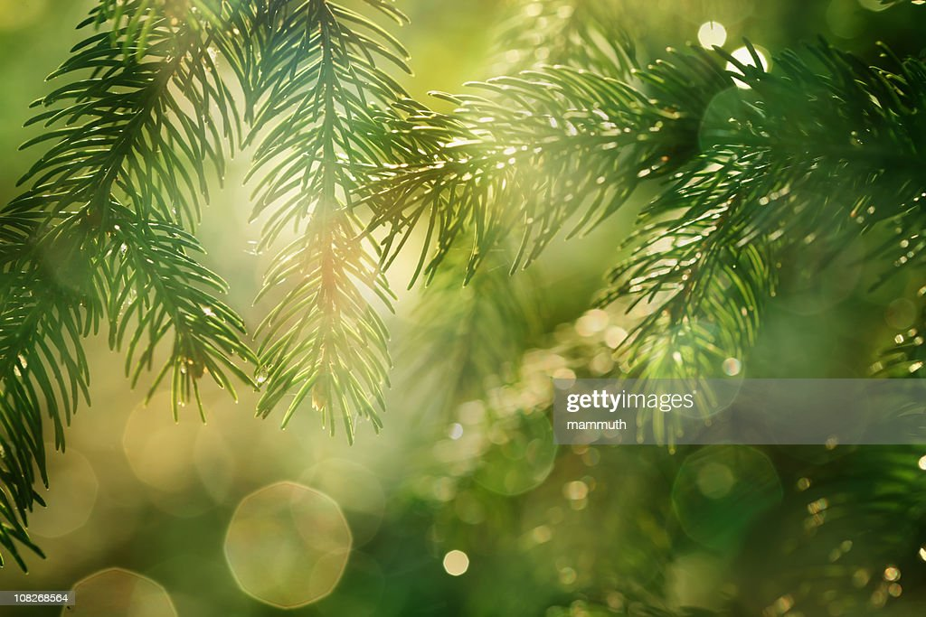 pine braches with glittering light : Stock Photo