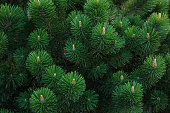 Pine branch background. Fluffy young branch growing pine, Christmas tree, close up