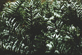 Winter Pine Branches Covered in Snow