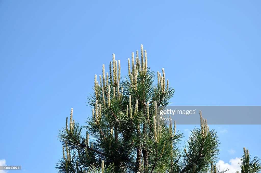 Pine branches in spring : Stock Photo