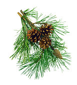 Pine branches with cones, isolation on a white background without shadows. Beauty of nature in details. Natural Christmas decorations. New Year. Curative.
