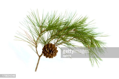 A pine cone hanging on a branch with green thistles