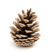 Perfect pine cone studio shot, isolated on white