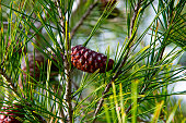 detail of pine cones in pine forest near barbate, andalusia, spain