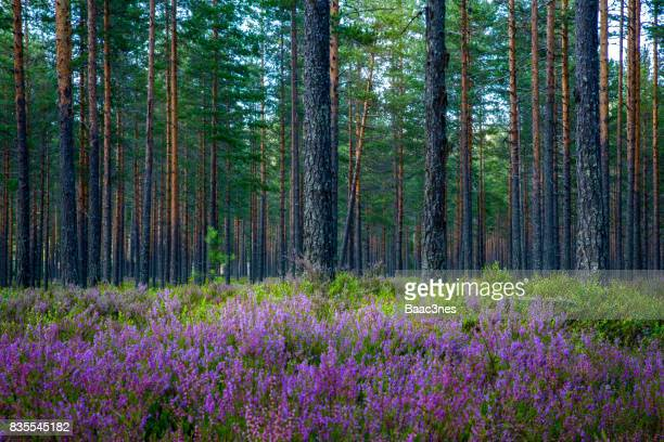 Pine forest and purple heather in Norway