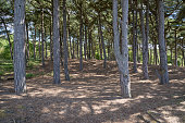 Pine forest at Formby point, Merseyside, England