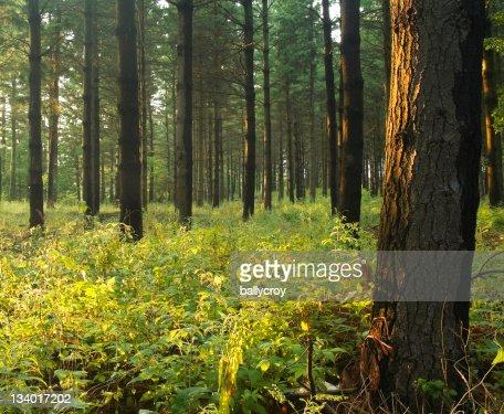 松の林の夕暮れ