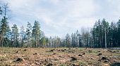 Pine forest being cut down turning into a dry lifeless field