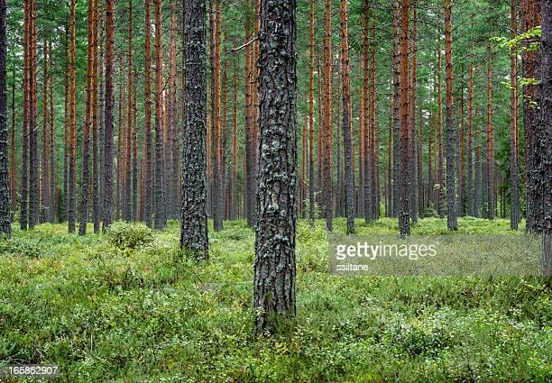 Pine forest Finland Scandinavia