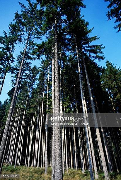 Pine forest in Germany