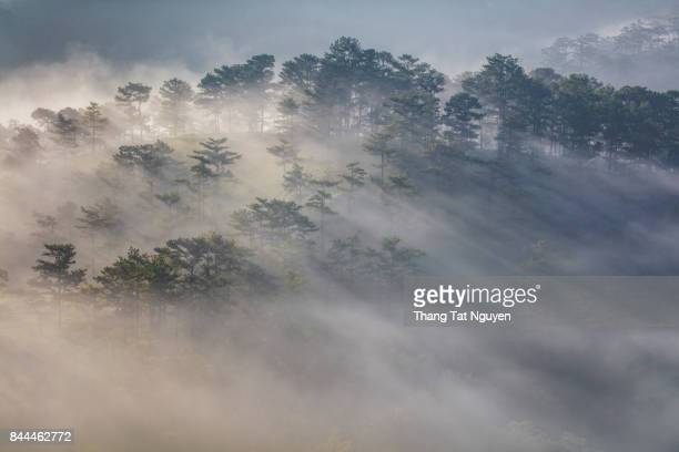 Pine forest in mist and sunlight