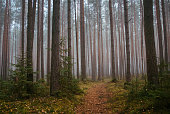 The path in the pine forest in the morning fog