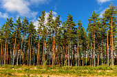 the edge of a pine forest on a sunny day