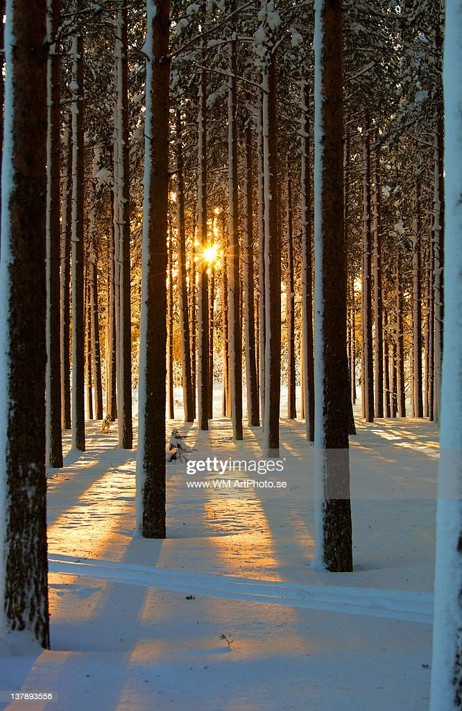 Pine forest : Stock Photo