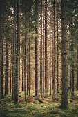 Pine forest in Sweden