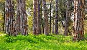 Pine forest with bright green grass on a spring and suny day.
