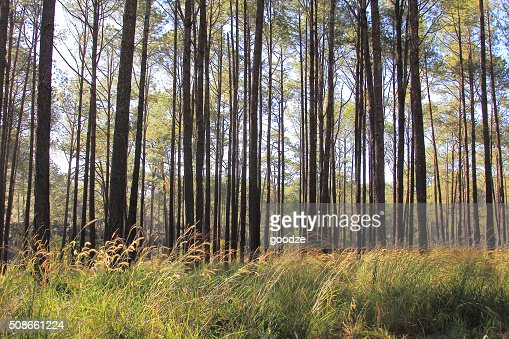 Pine forests : Stock Photo