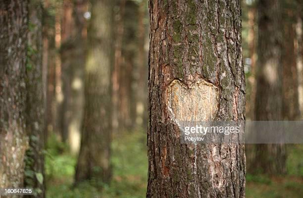 Pine cuore