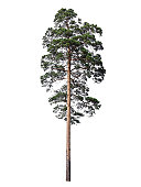 High branched pine tree isolated on a white background