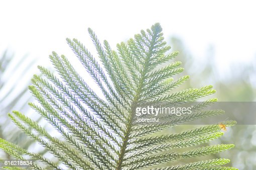 pine leaf,pine tree : Stock Photo