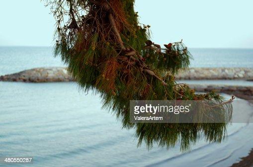 pine marritime : Foto de stock