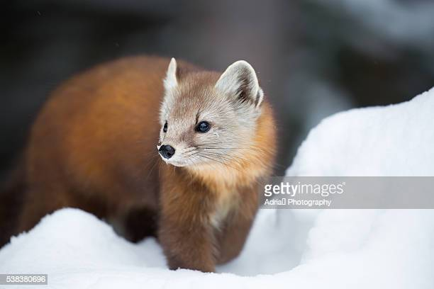 Pine Marten in winter