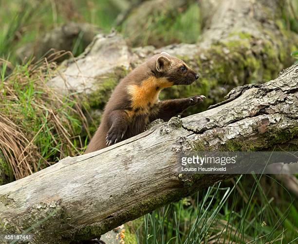 Pine marten jumping onto a fallen log