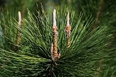 Brilliant green pine needles and shoots