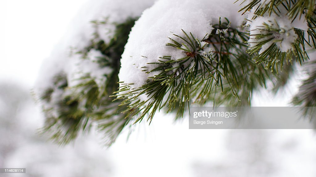 Pine needles and snow : Stock Photo